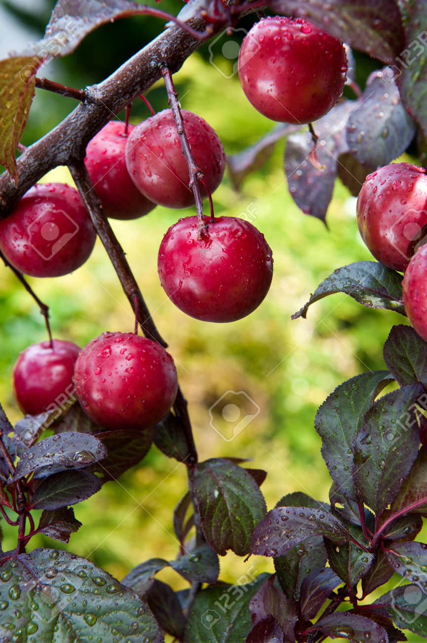 A Bunch Of Fruit On The Branches Of A Purple Leaf Plum Tree Stock