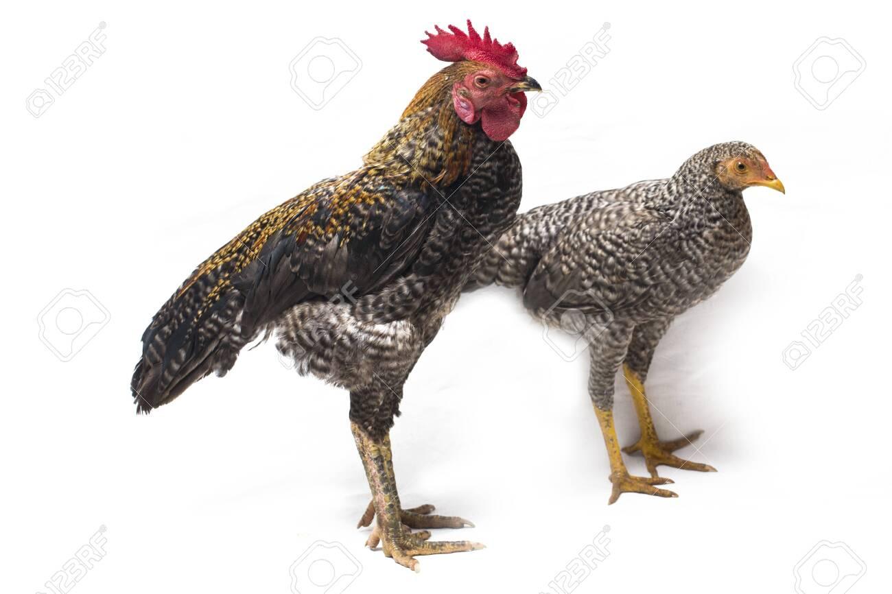 A Pair Of Cock Hen Ayam Kampong Or Ayam Kampung Is The Chicken ...