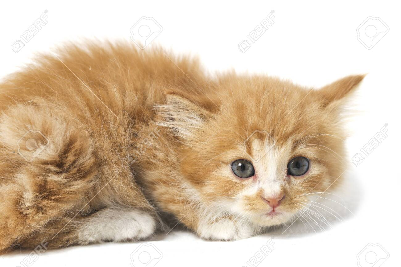 A Beautiful Mixed Domestic Orange cat , funny positions. Animal portrait isolated on white background. - 141413534