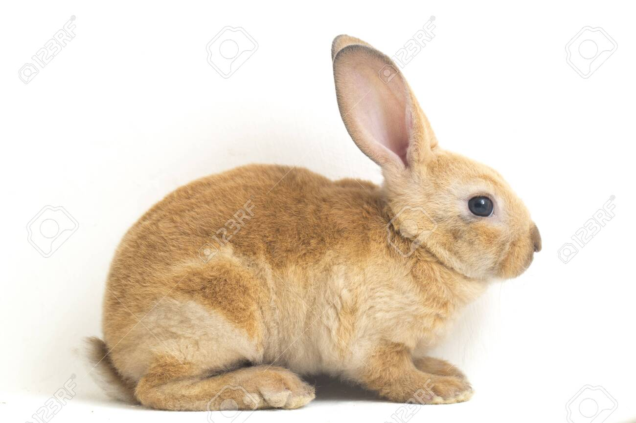 Cute red brown rex rabbit isolated on white background - 143498904