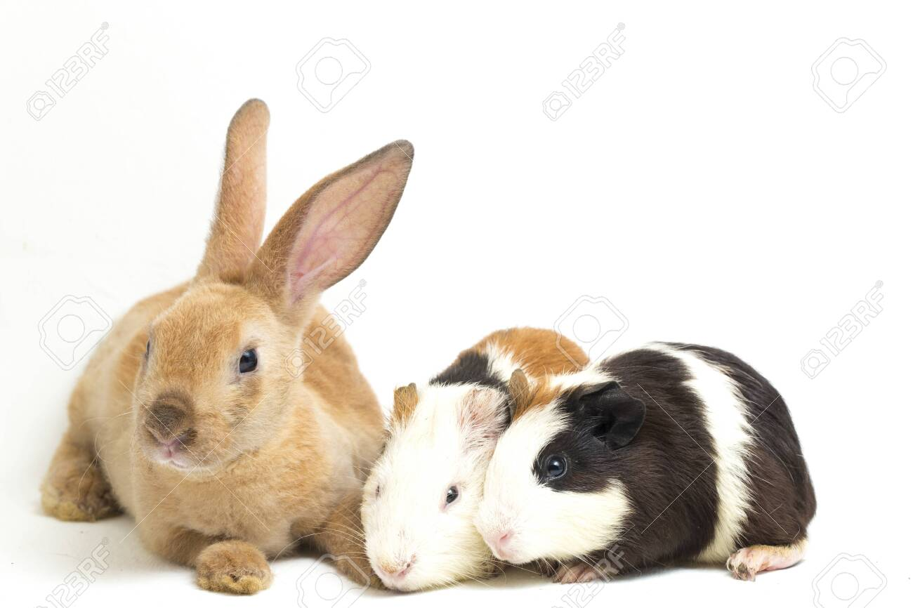 Cute little rex Orange rabbit and guinea pig isolated on white background - 144409655