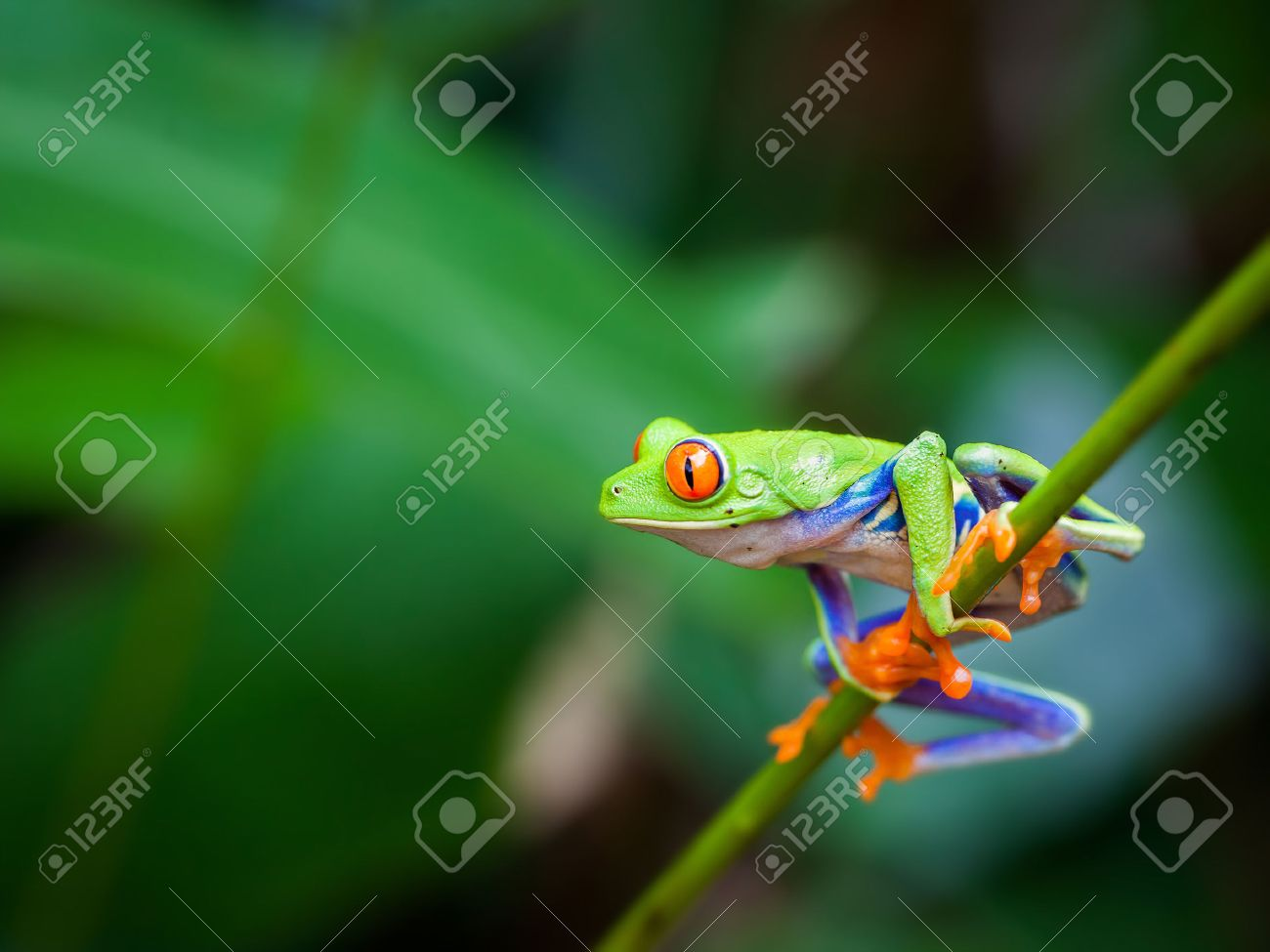 Red eye frog on the forest - 25076702