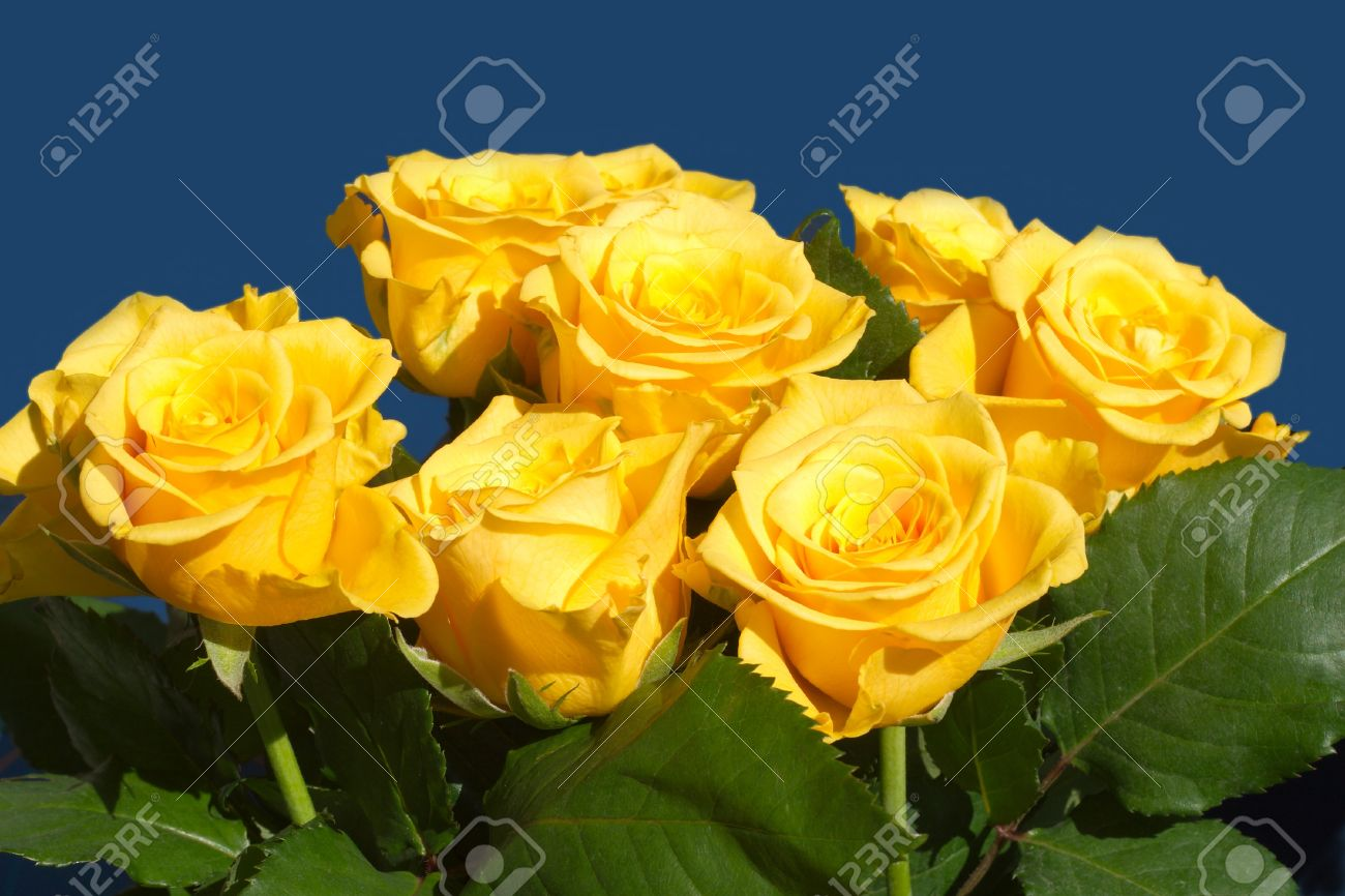 Beautiful yellow rose gardens - Many Beautiful Yellow Roses Isolated On Blue Closeup Stock Photo 14791635