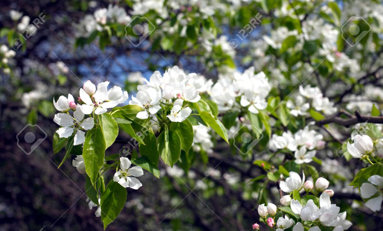 Deep Apple Tree Branches With Many White Flowers Blossom In Spring