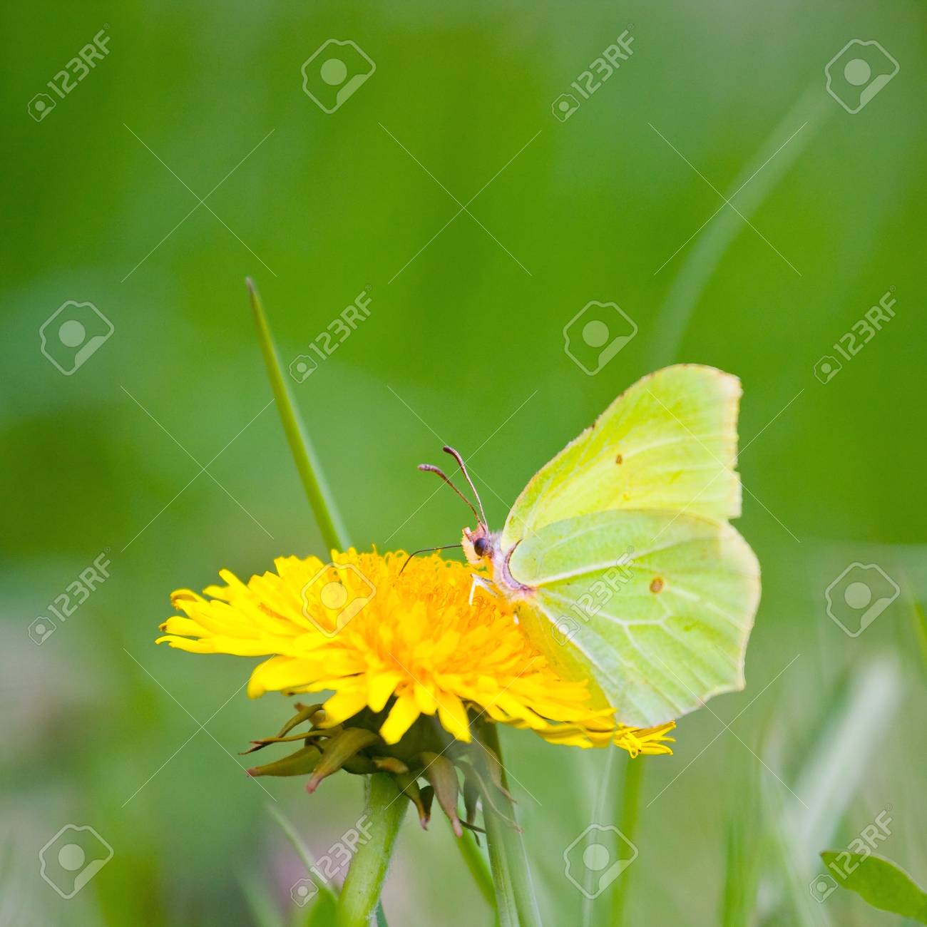 Yellow butterfly on yellow flowers Stock Photo - 16880990