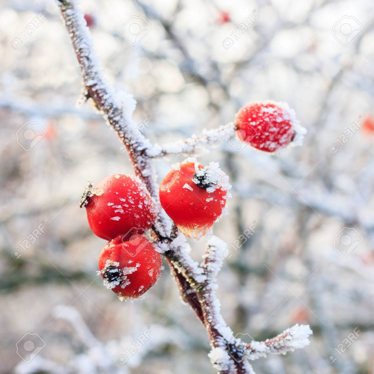 Winter Red Berries On The Frozen Branches Covered With Hoarfrost