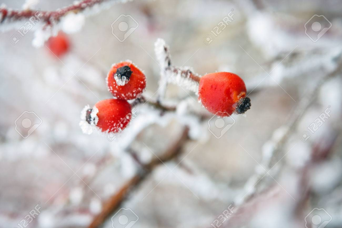 Winter Background Red Berries On The Frozen Branches Covered