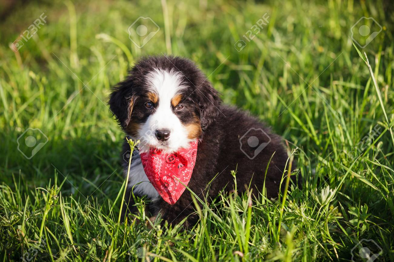 Adorable Bernese Mountain Dog Puppy Wrapped In A Red Shawl Looking