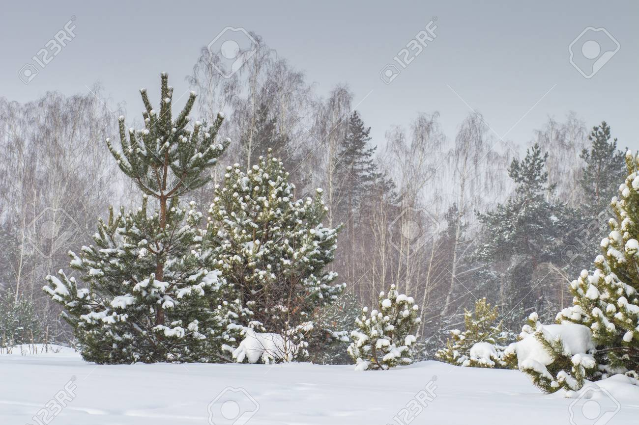 Snowing Christmas Scene.Winter Nature Snowy Trees Covered By Snow Natural Winter Scene