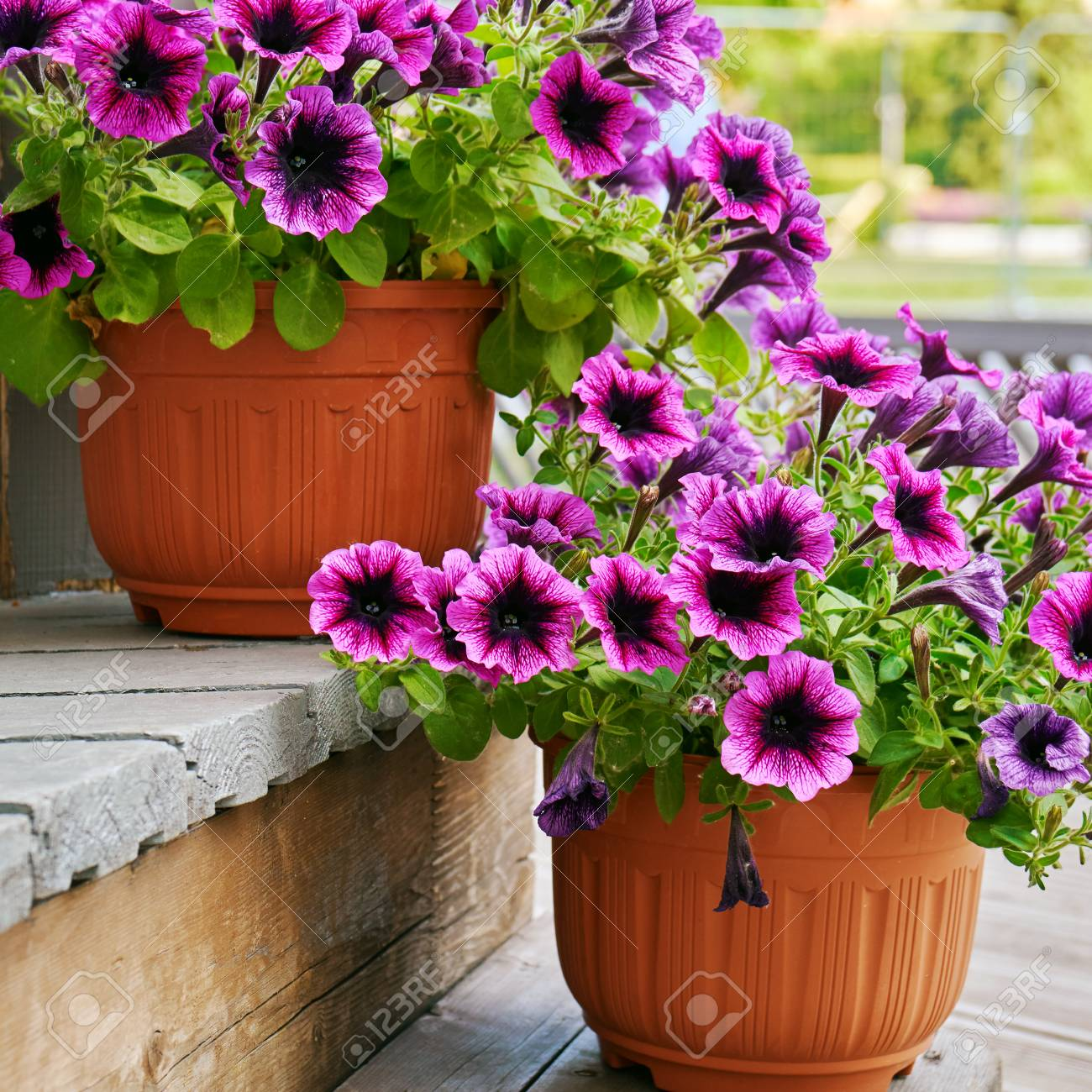 Petunia Flowers Growing In Flower Pots On The Wooden Staircase