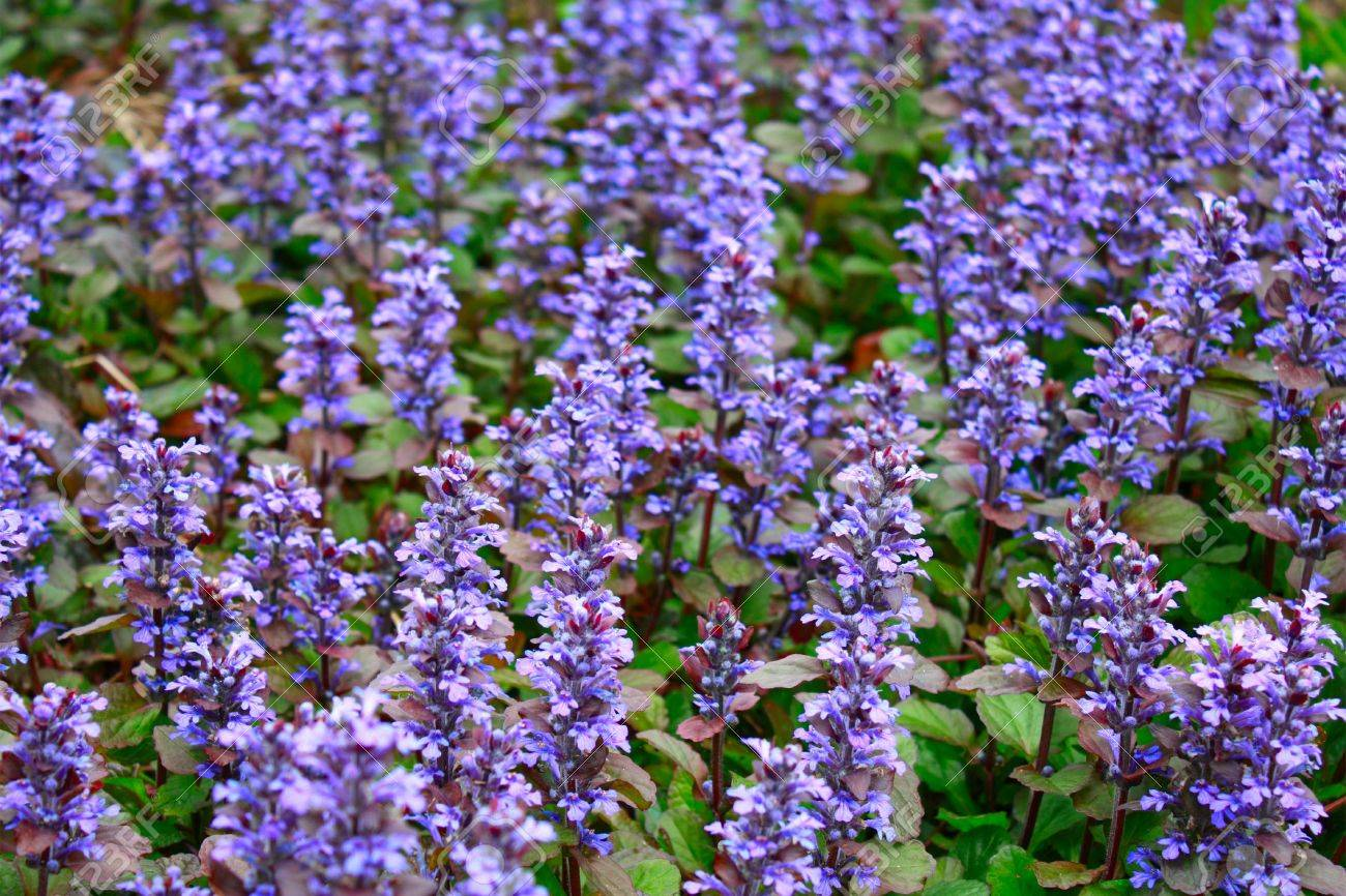 Continuous background from blue flowers of a creeping plant stock continuous background from blue flowers of a creeping plant stock photo 7214839 izmirmasajfo