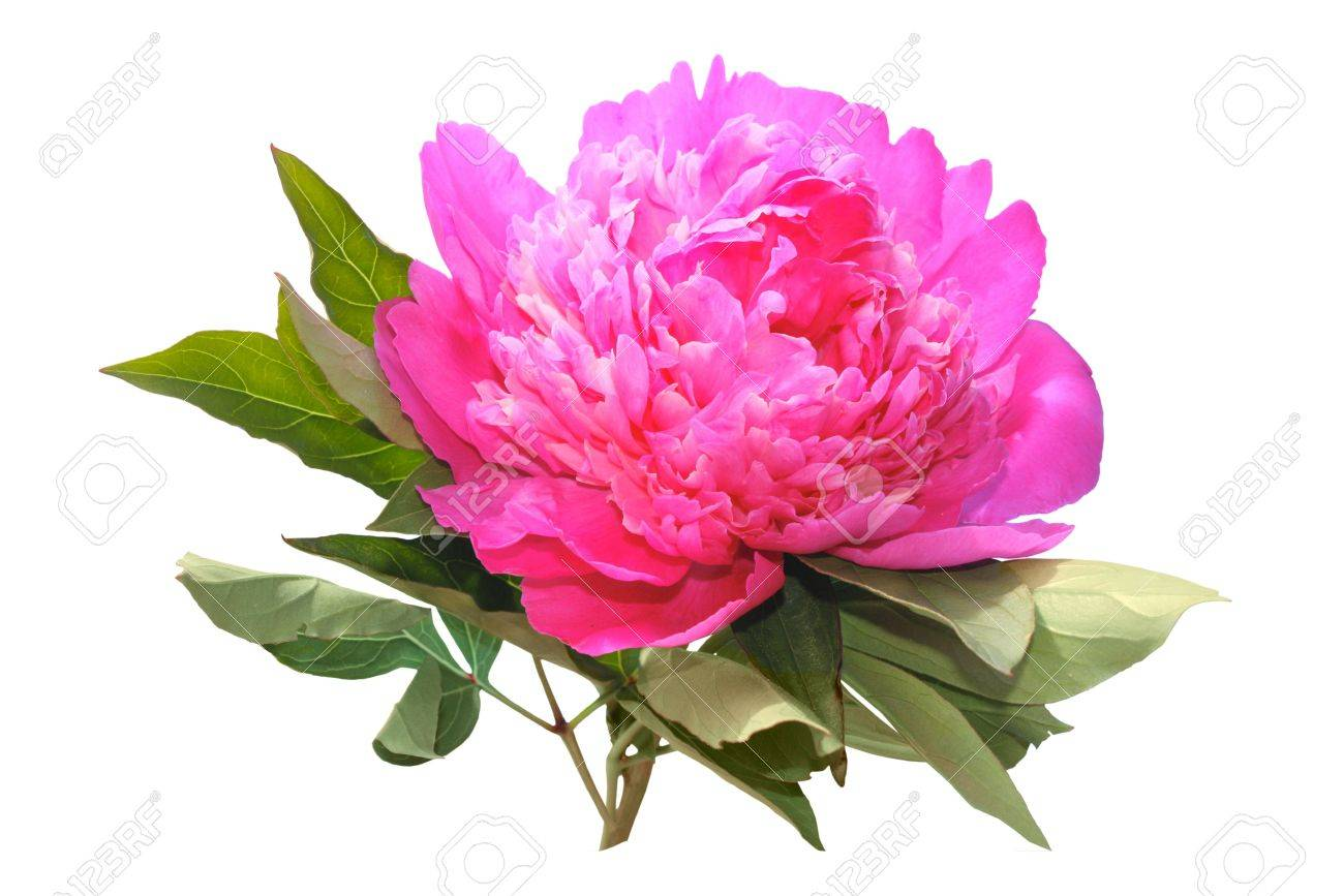Pink peony isolated on a white background Stock Photo - 7309438