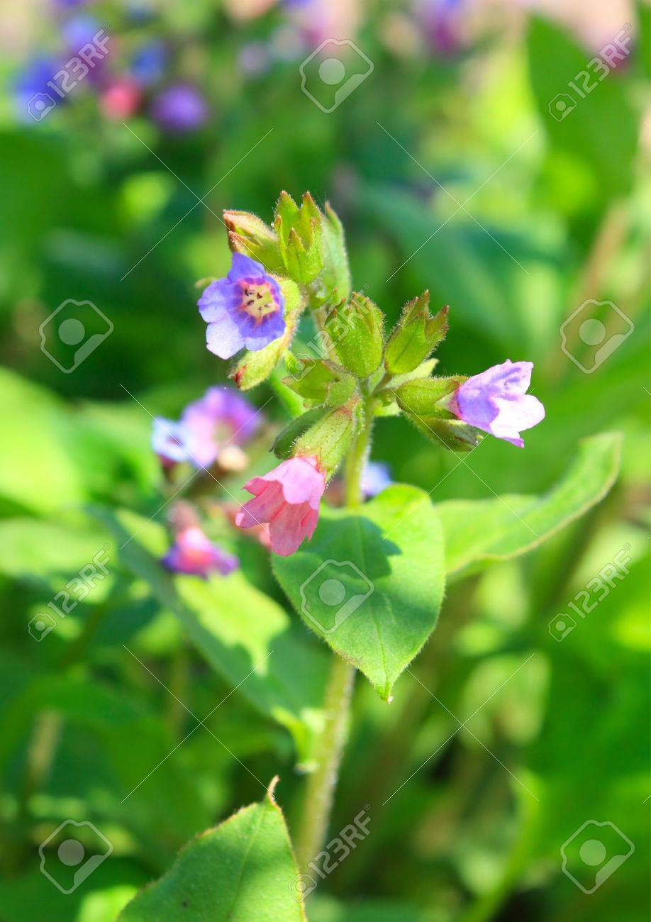 Blossoming herb of pulmonaria obscura Stock Photo - 10401853