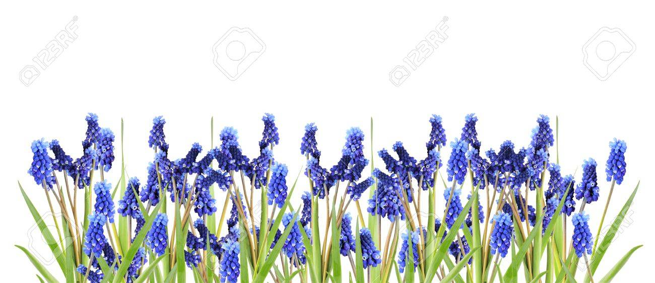 border with blue hyacinths Stock Photo - 10874644
