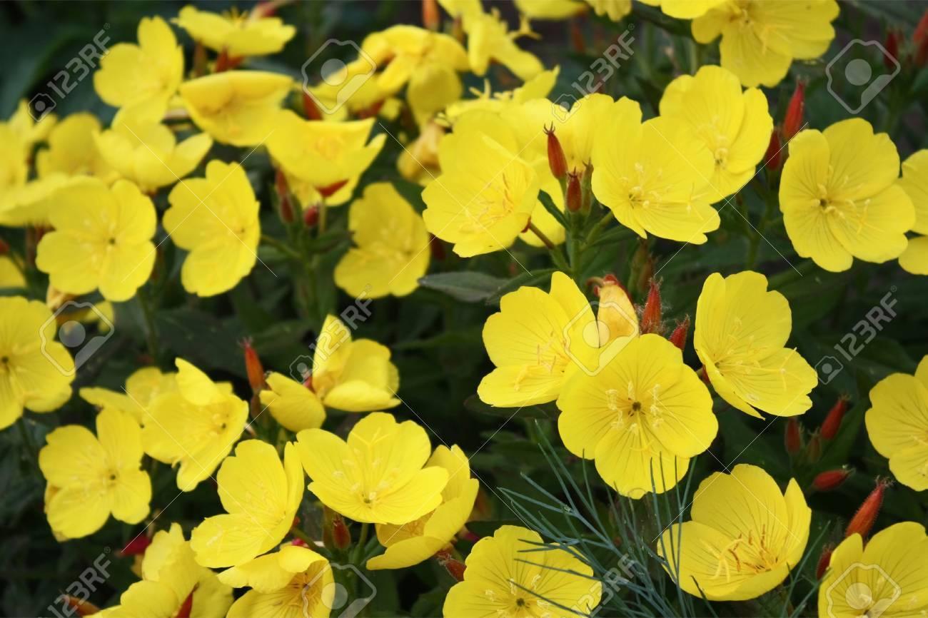 Gelb Blühende Blumen Von Oenothera Close Up Draußen Lizenzfreie ...