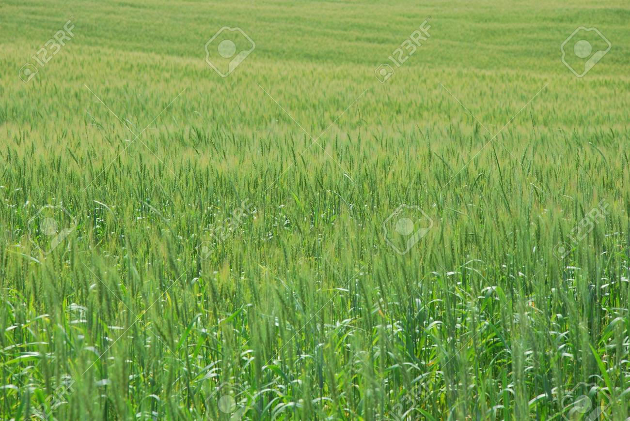 Field of wheat at nice summer day Stock Photo - 8125244