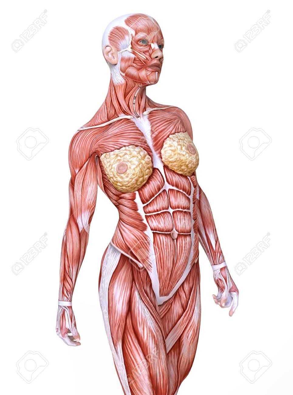 Wonderbaar Vrouwelijke Anatomie En Spieren, Lichaam Zonder Huid Geïsoleerd Op YS-23