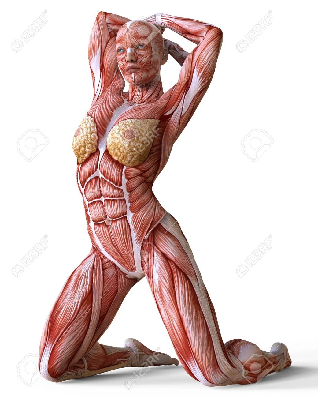 Wonderbaar Vrouwelijke Anatomie En Spieren, Lichaam Zonder Huid Geïsoleerd Op LW-05