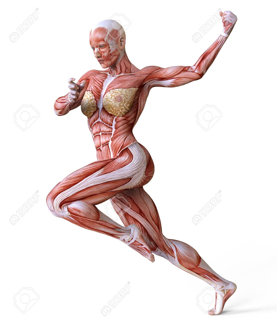 Female Body Without Skin, Anatomy And Muscles Isolated On White ...