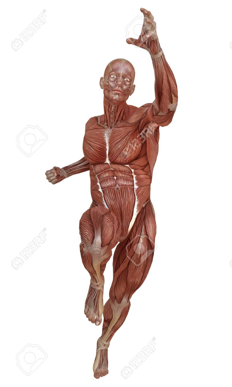 Male Body Without Skin, Anatomy And Muscles 3d Illustration Isolated ...