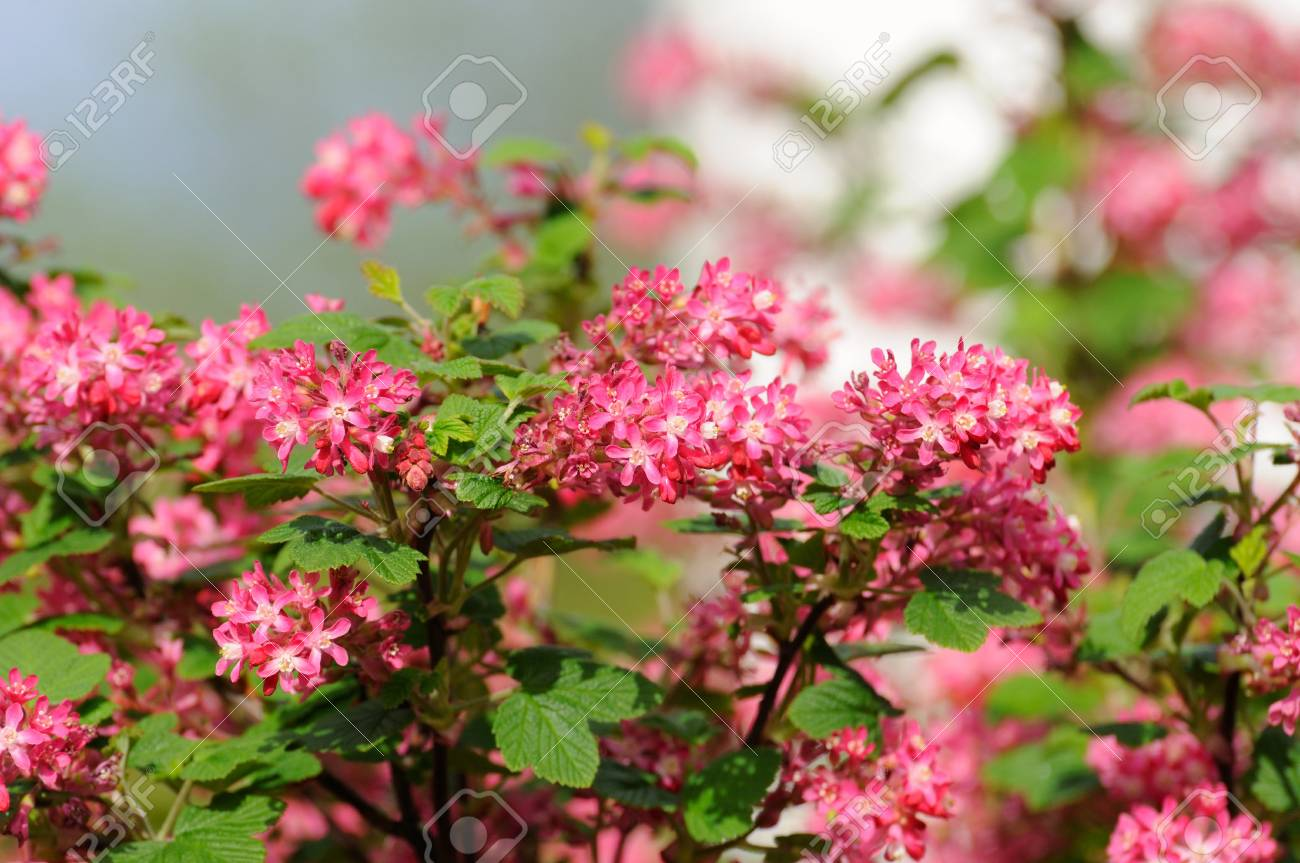 Tree Branch With Small Pink Flowers In Fulda Hessen Germany Stock
