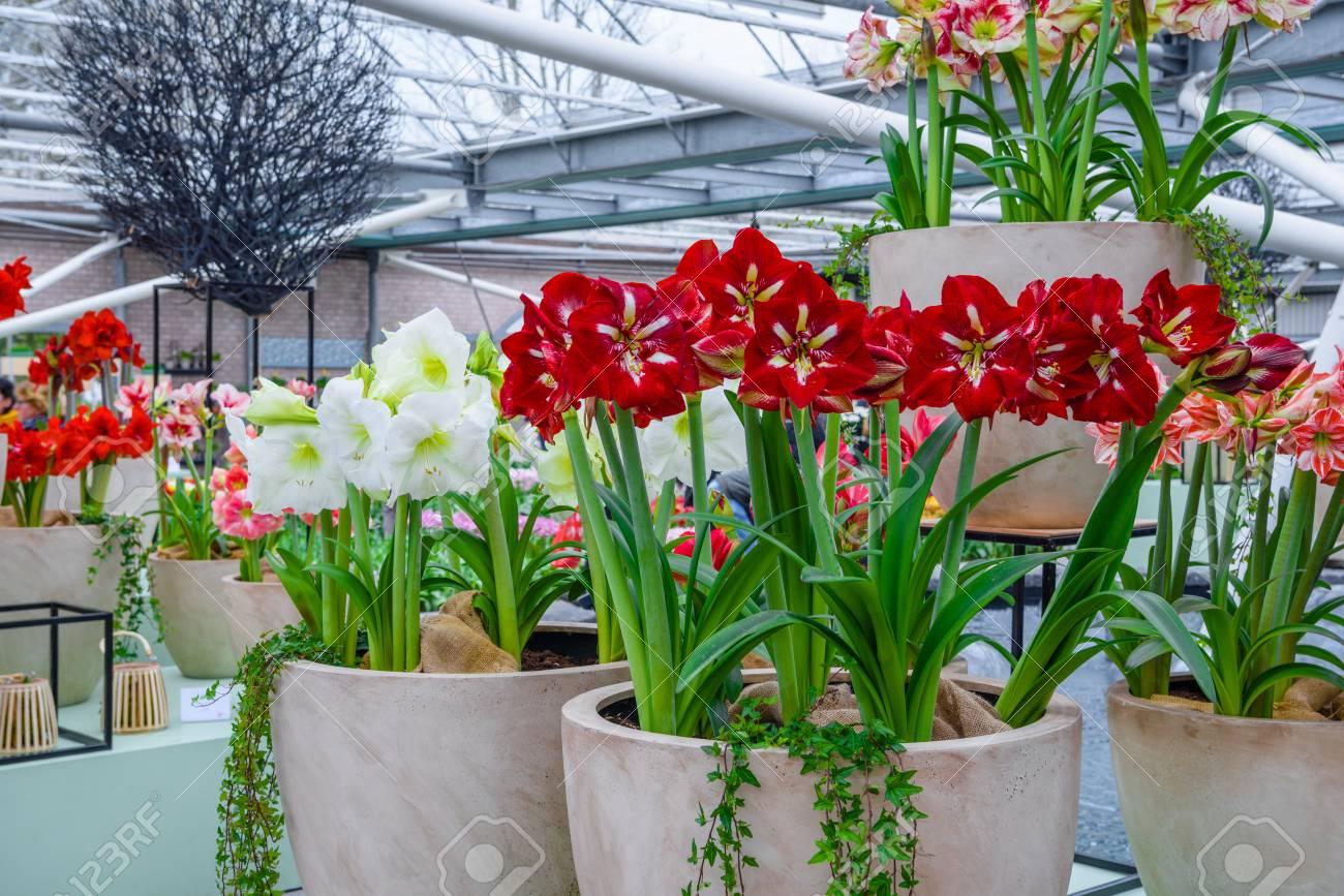 Beliebt Bevorzugt Amaryllis, Belladonna Lily In Keukenhof Park, Lisse, Holland @SA_63