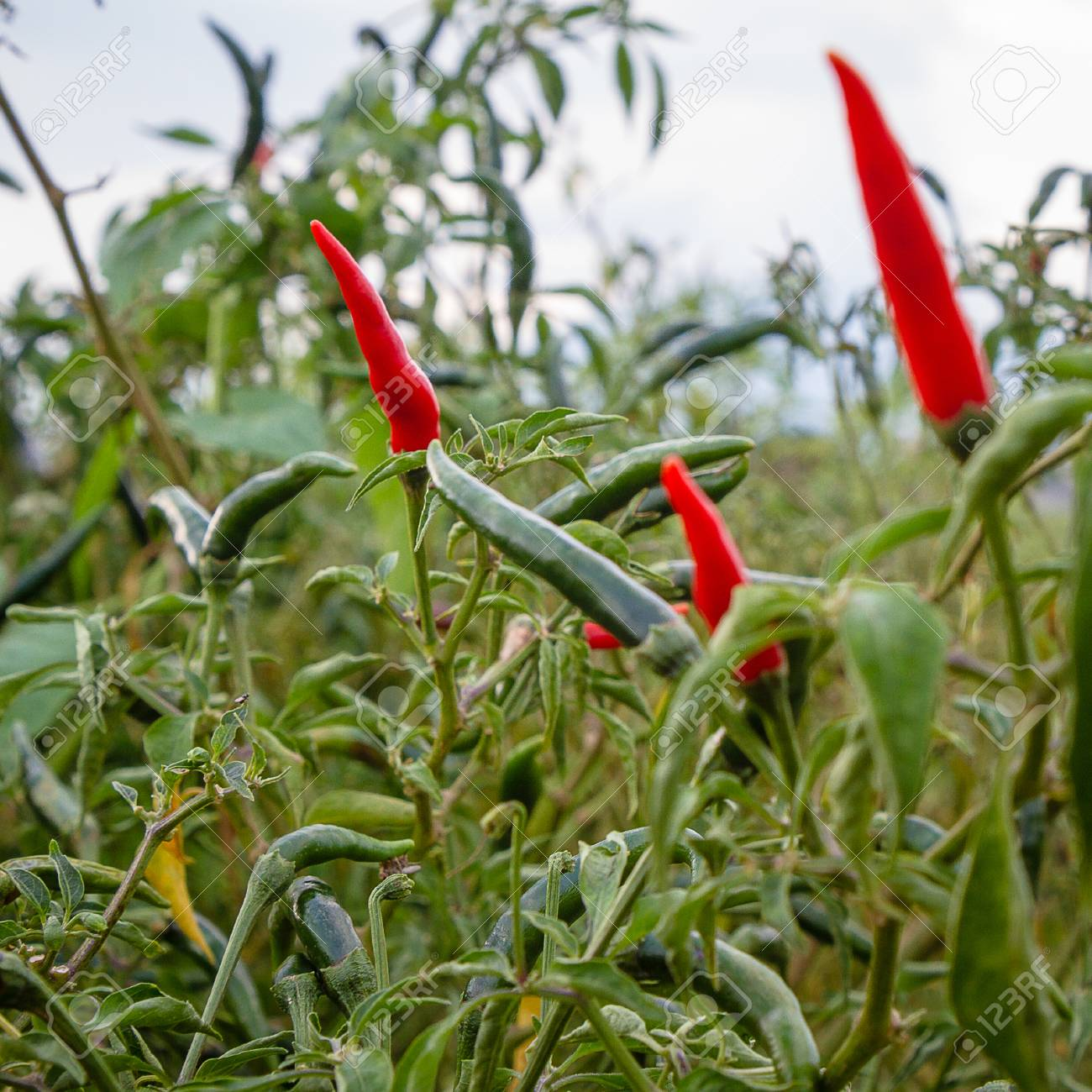 Close Up Of Green Chili Pepper On The Tree Birds Eye Chili