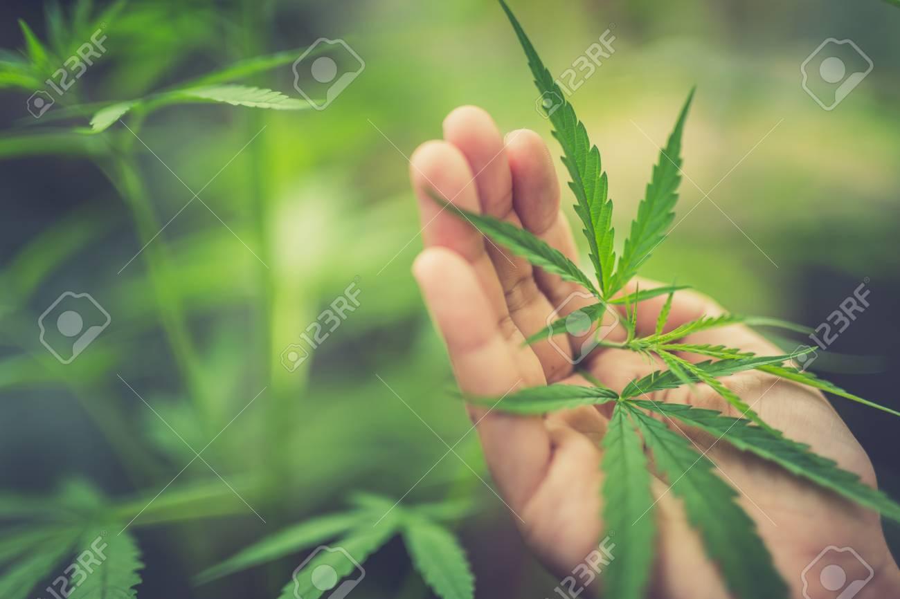 marijuana plant in hand - 78323444