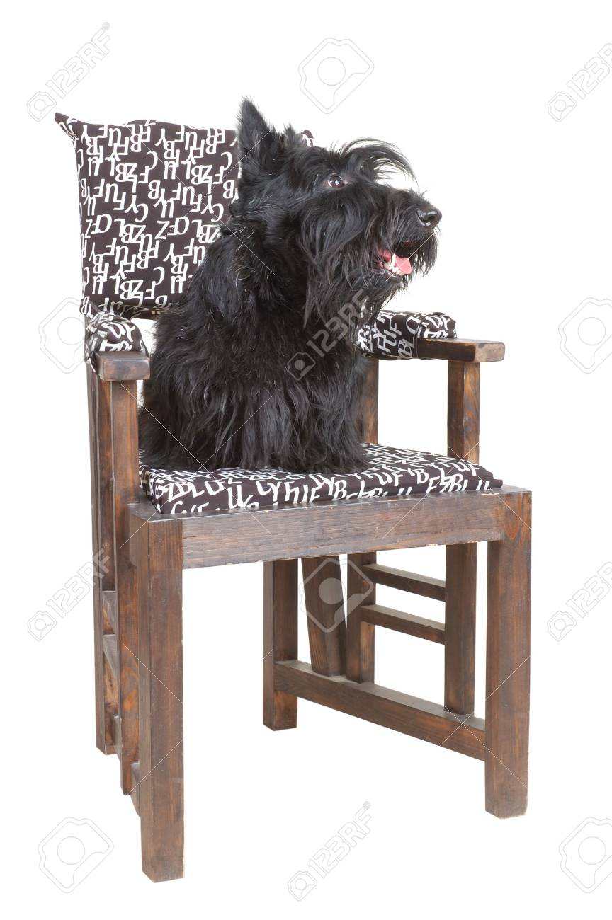 Scottish terrier puppy sitting on a chair against white background. Stock Photo - 4149941
