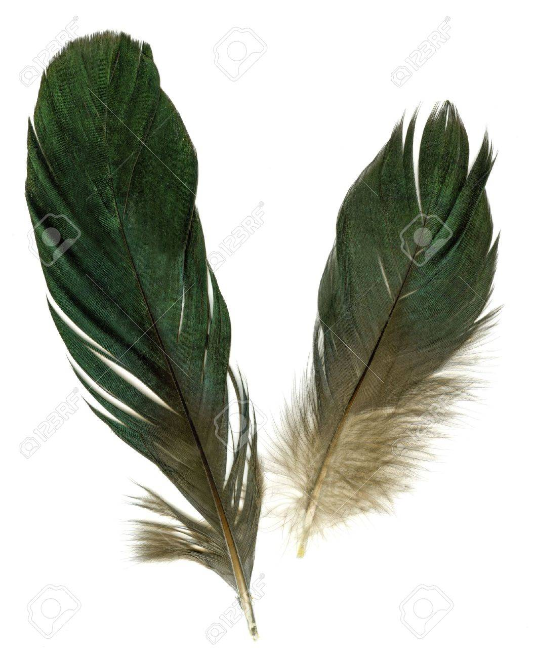 Two raven feathers on white background - 4286426