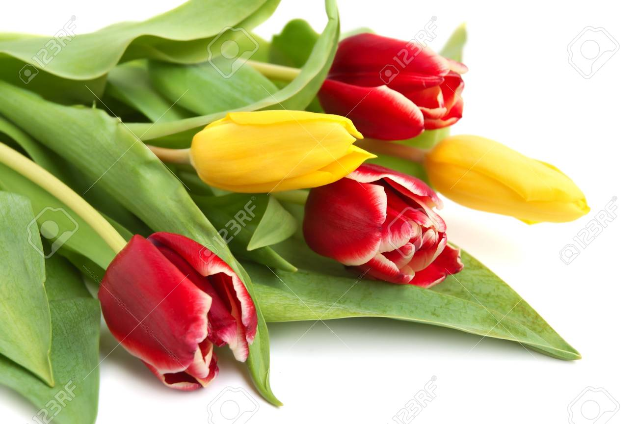 Colored spring tulips on white background Stock Photo - 4493255