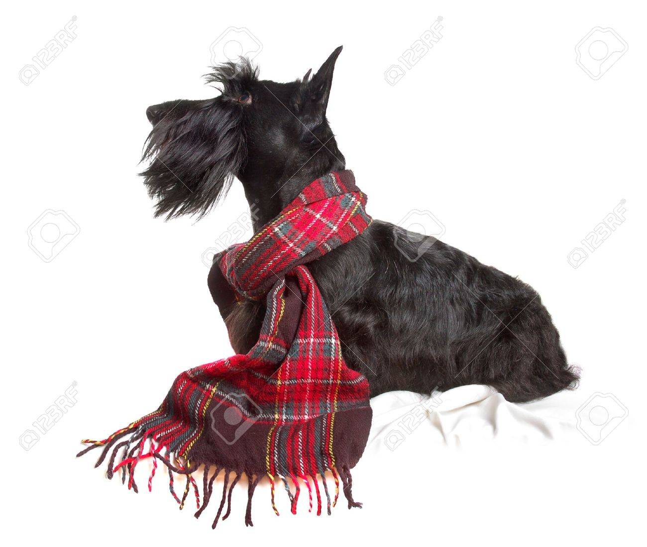 Scottish terrier in a red scarf on white background - 9139809