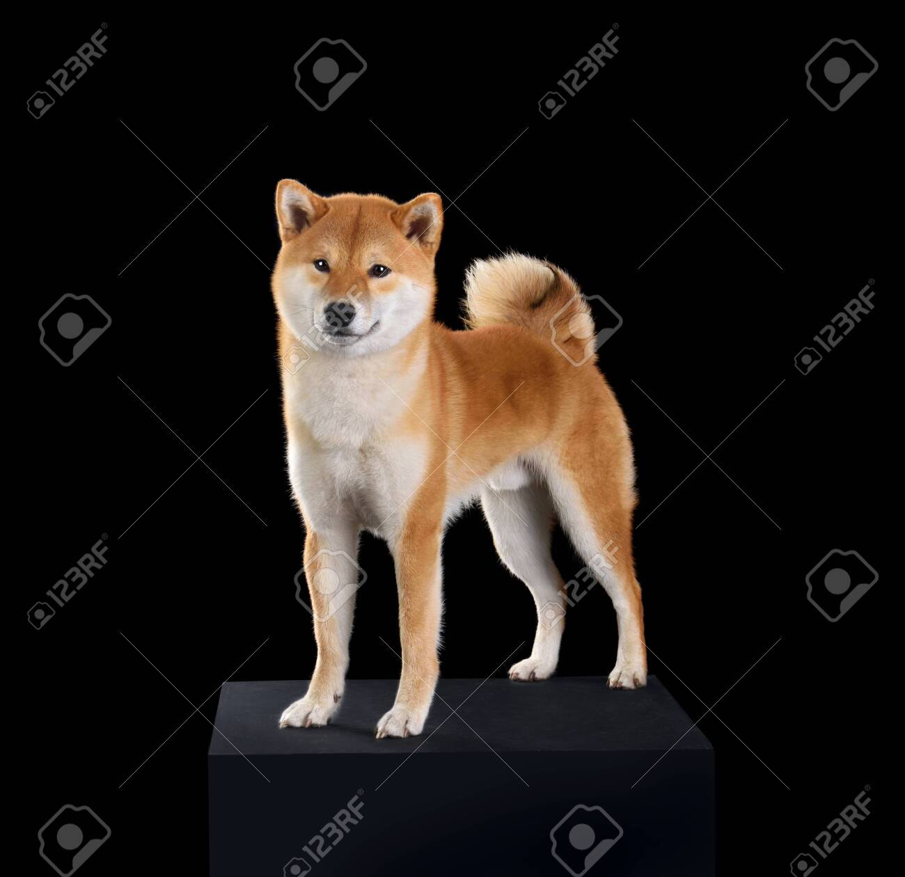 Red Shiba Inu Dog Standing On A Black Background Stock Photo Picture And Royalty Free Image Image 144855184