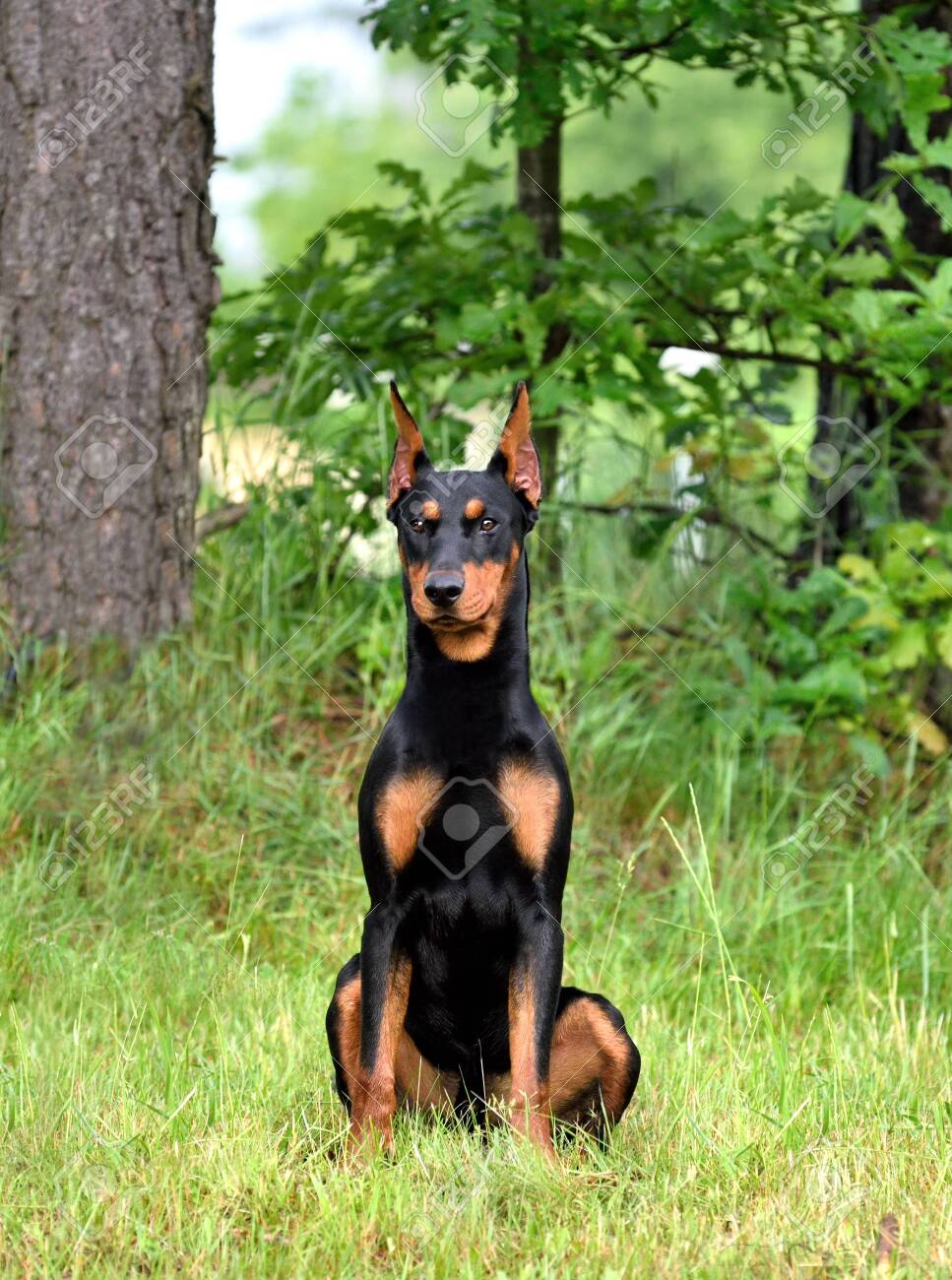 Tan And Black German Pinscher Or Doberman Dog With Uncropped Stock Photo Picture And Royalty Free Image Image 151209107