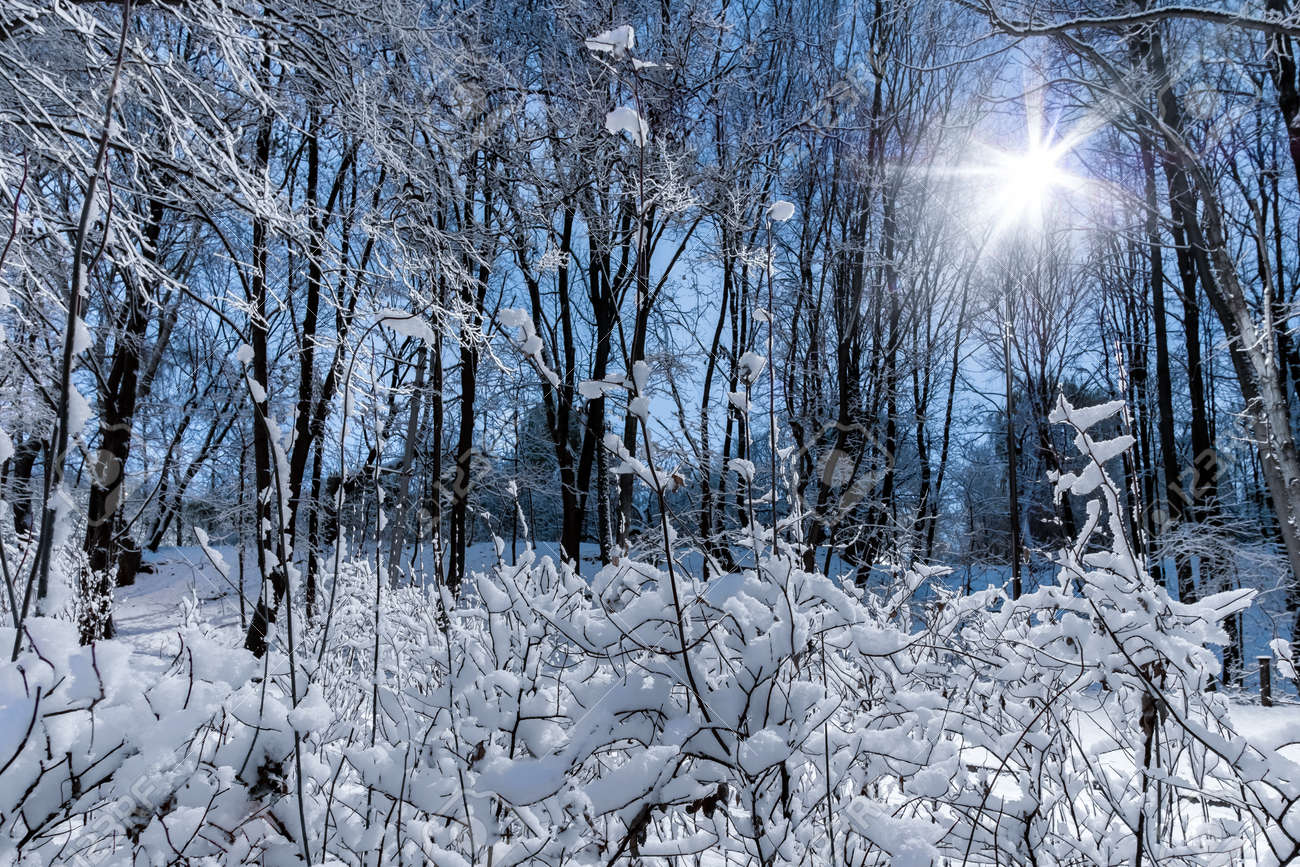 Night view of trees covered with snow in a city park. The bright light of the lantern. Snowfall. Forest fairy tale before the new year. - 159525456