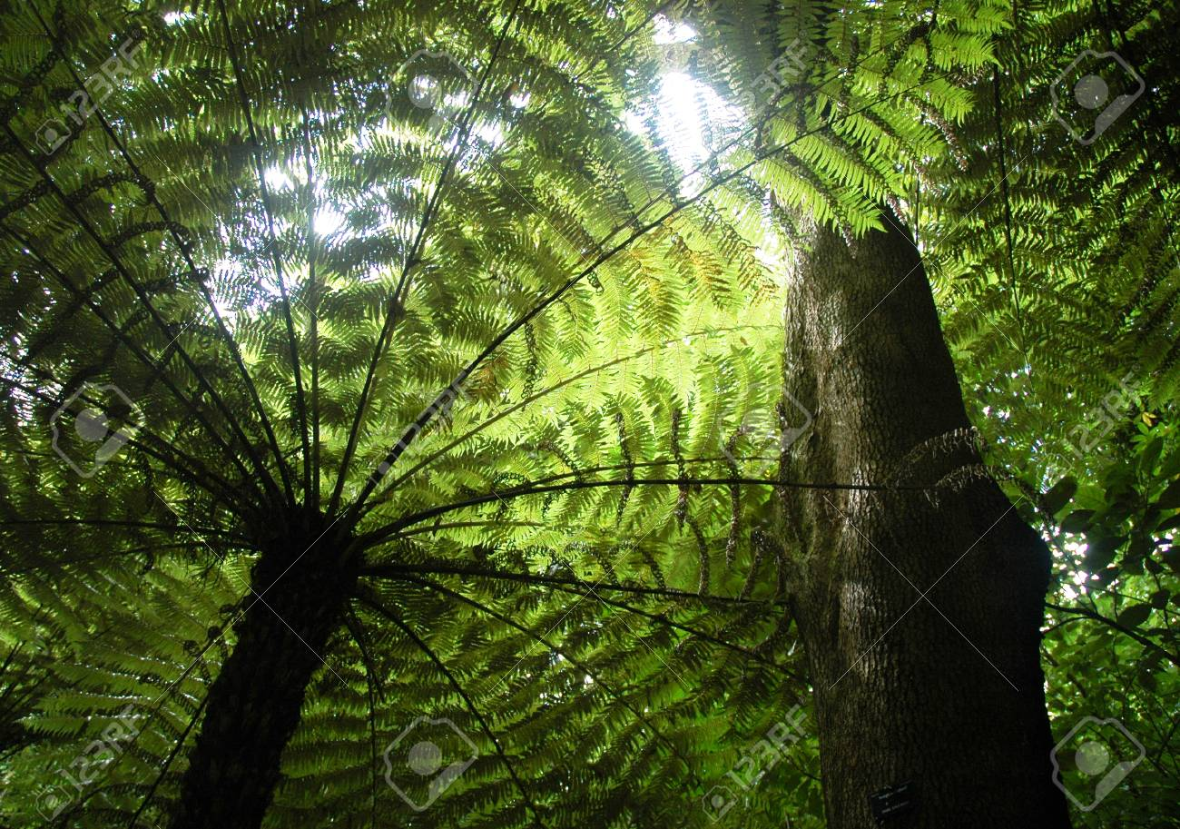A giant fern tree seen from below. The leaves are green, and the trunk and branches look black against the sunshine. The trunk of a tree rises through the ferns. Stock Photo - 90141942