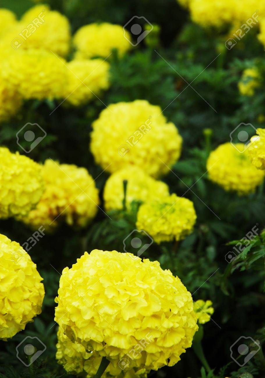 A cluster of yellow flowers, each with hundreds of petals. A rain drop is falling off a petal in the foreground. The plant is covered with green leaves. Stock Photo - 90320676