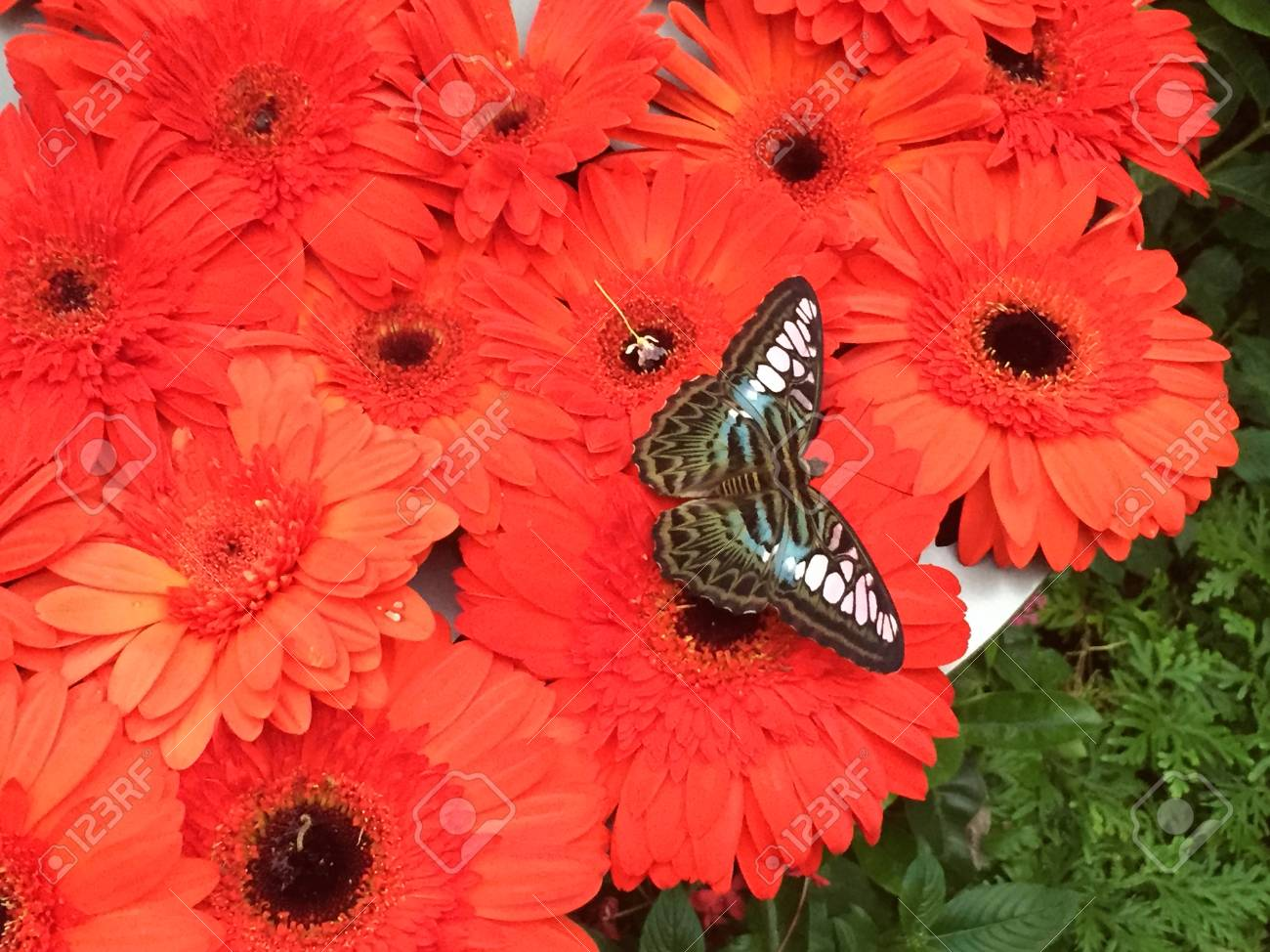 A black butterfly with blue and pink markings is resting on a cluster of bright red flowers. The flowers have hundres of petals, and black centers. The butterfly's wings are outstretched. Stock Photo - 91698483