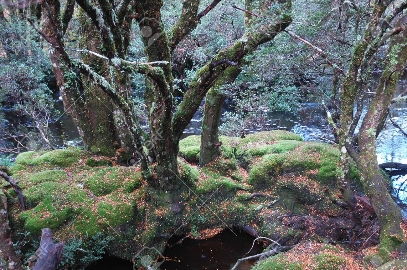 A cluster of bare trees stand on moss covered rocks in a stream. Fallen leaves surround them. Silver-green leaves are in the background. Stock Photo - 92162191