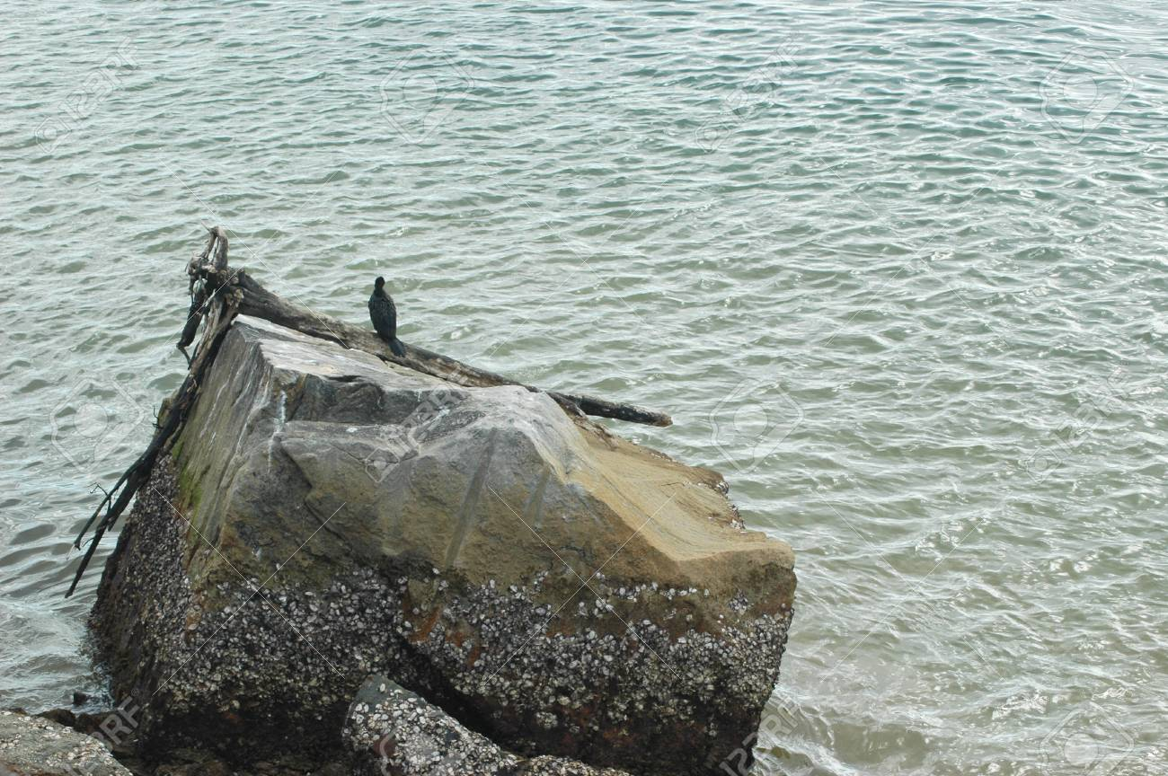 A cormorant sitting on a piece of driftwood resting on a rock. The ocean surrounds the rock. The rock is covered with barnacles. Stock Photo - 92427854