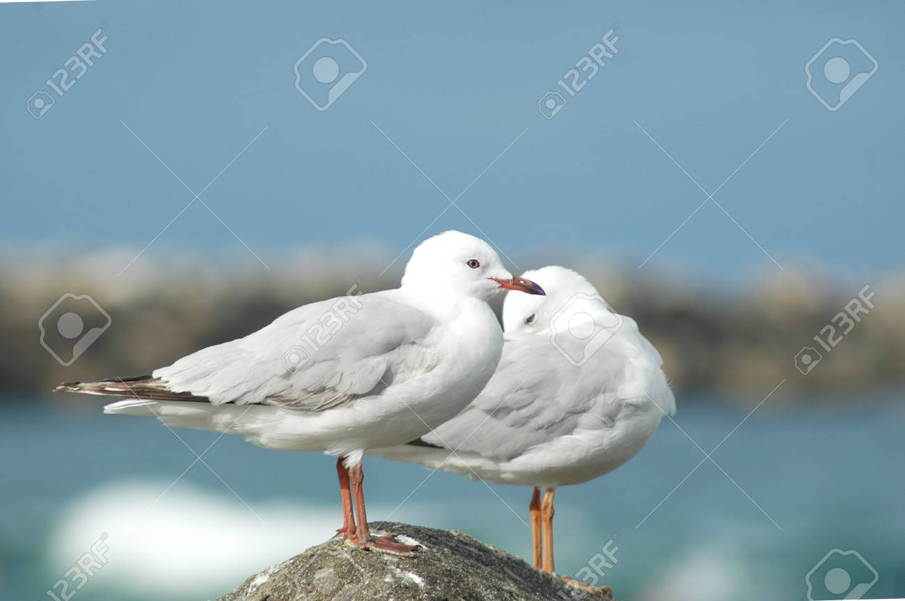 A closeup of two seagulls on a rock. One is preening itself. The sky is blue, with no clouds. A beach is in the background. Stock Photo - 92427857