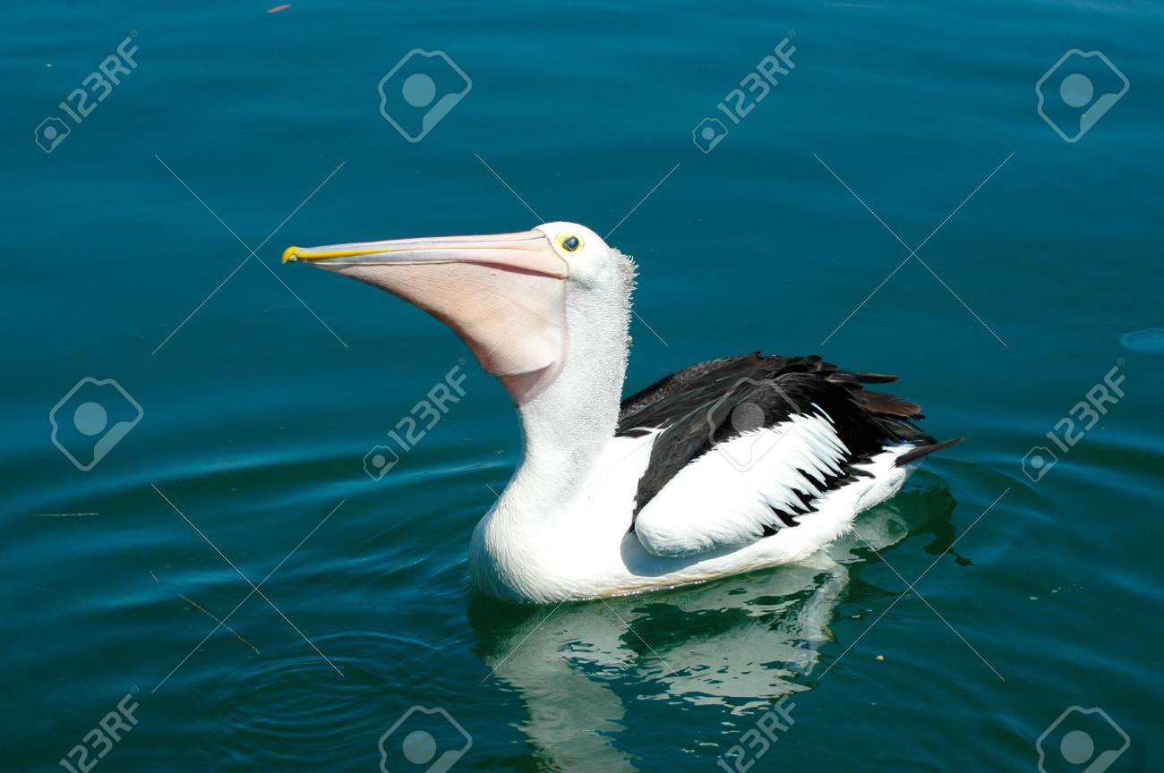 A pelican is floating on still blue water. His reflection is visible, and a jellyfish floats nearby. He is waiting to be fed. Stock Photo - 92651503
