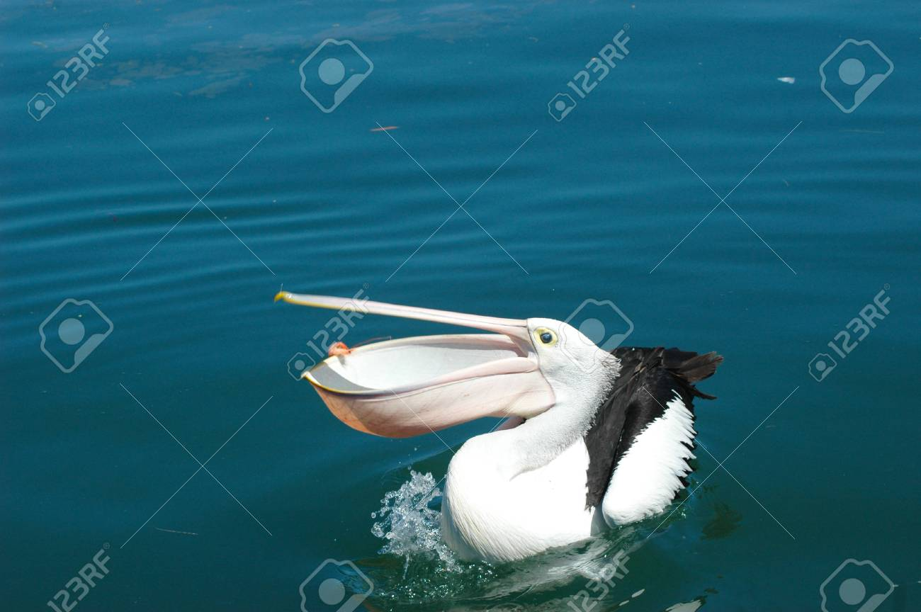 A pelican has just caught a thrown prawn, his mouth still open. Water is splashing in front of him. He is floating on blue water, with a cluster of clear jellyfish to one side. Stock Photo - 92759599