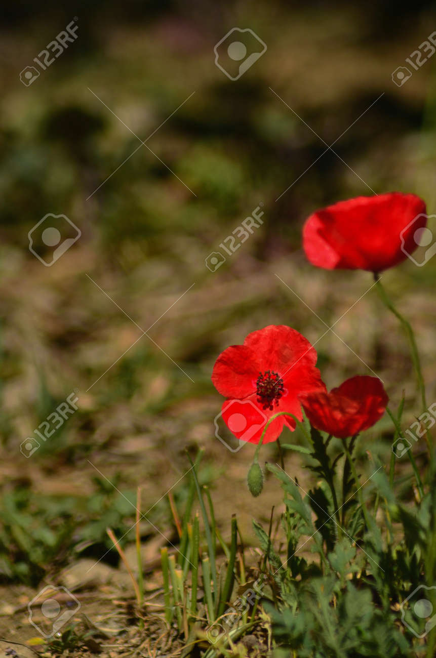 Three poppies, one in full bloom and facing towards the camera, are in a grass-covered field. The photograph has a short depth of field. - 159670840