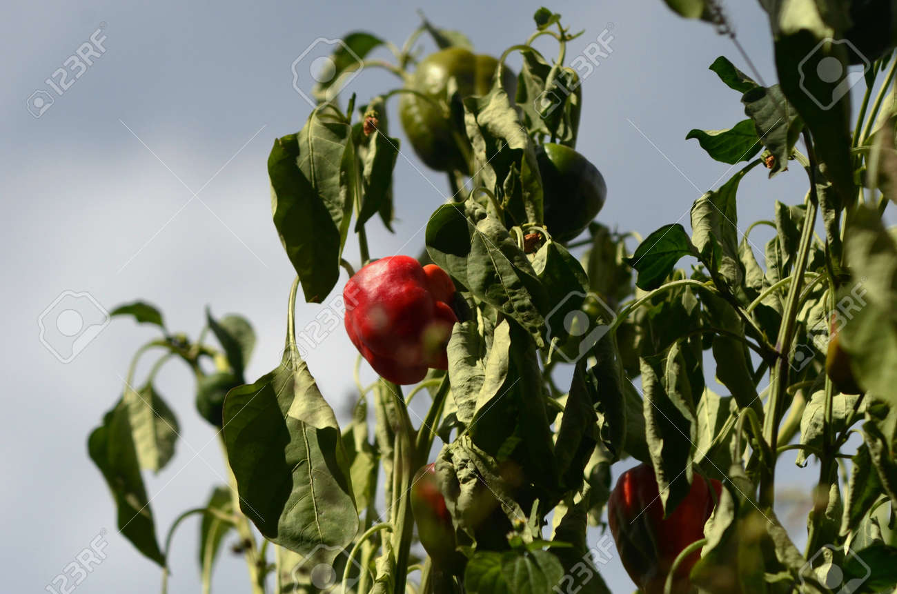 Sunlight falls on a red capsicum, while a few others are in shadow. The plants appear dry, the green leaves withered. The sky is blue with white clouds. - 157568497