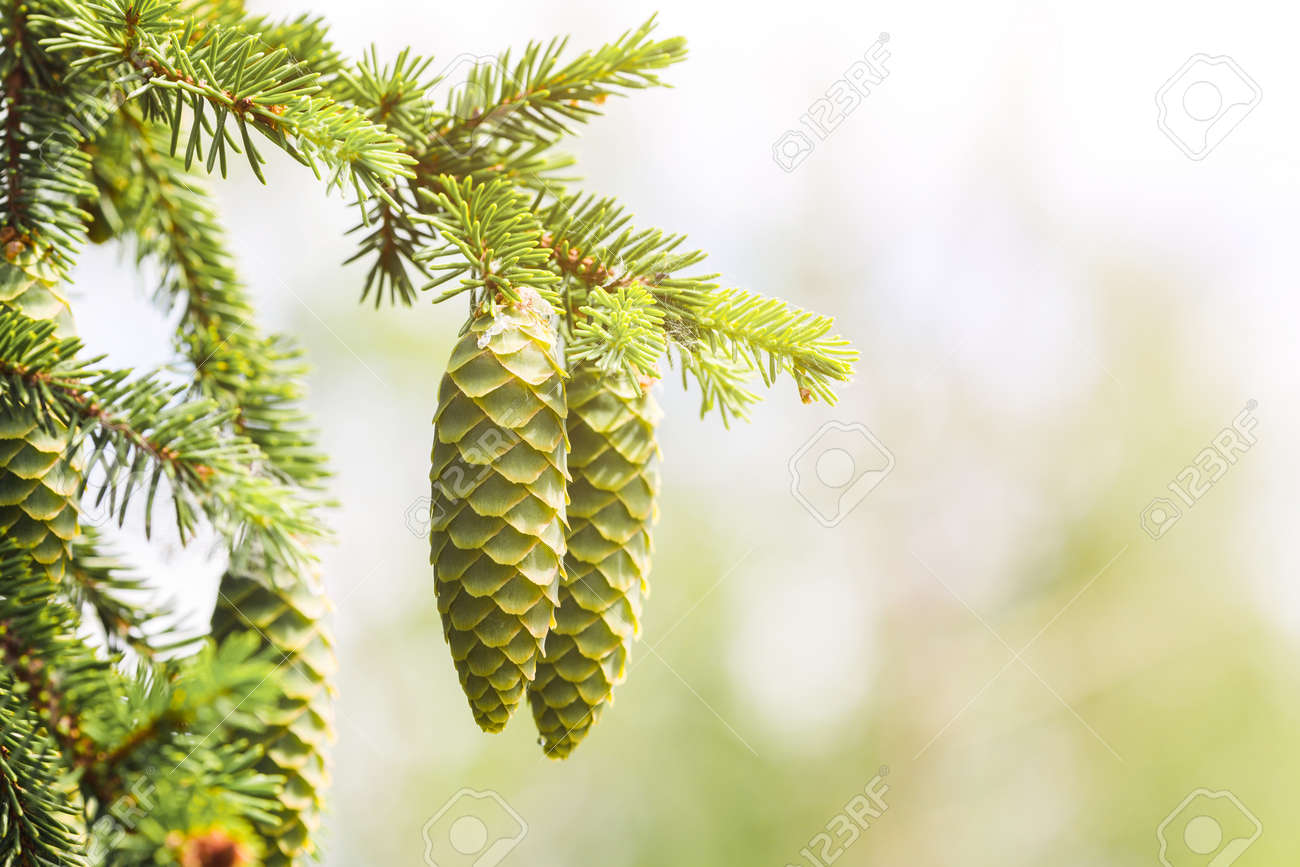 A green cone young fluffy branch of a fir tree. - 171536299