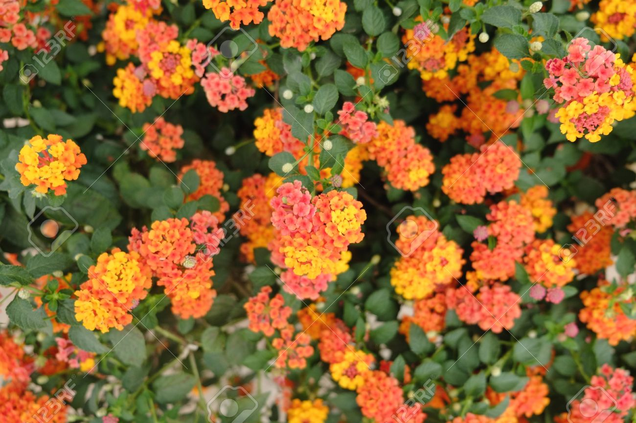 Little Orange And Yellow Flowers Blooming Bush Stock Photo Picture