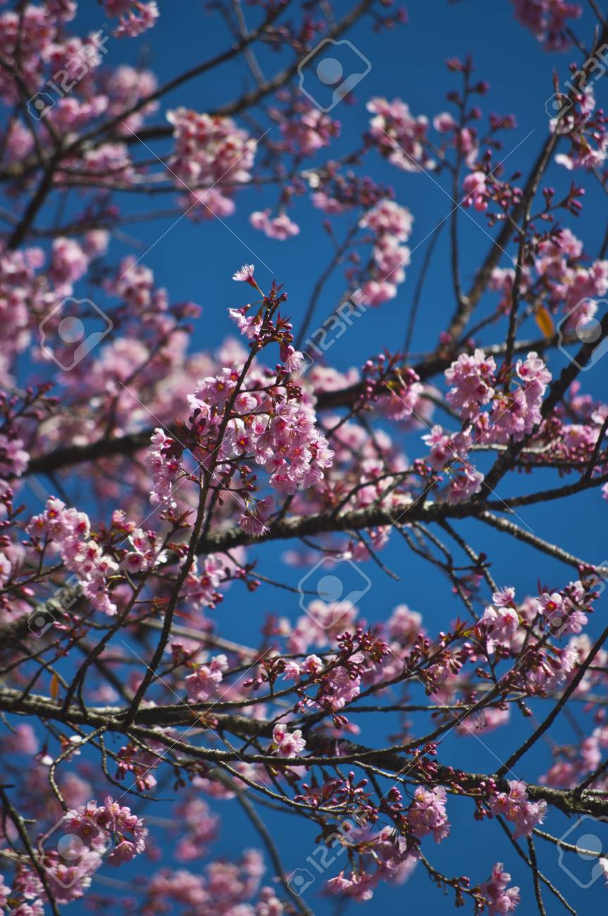 Superb Pink Cherry Blossom with Blue Sky Background Stock Photo - 24958468