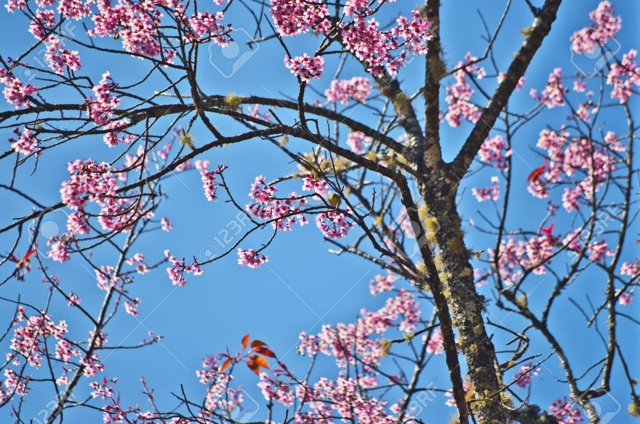Superb Pink Cherry Blossom with Blue Sky Background Stock Photo - 24970864