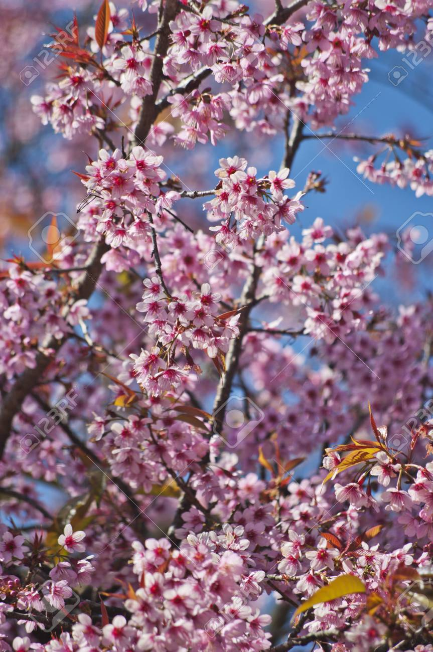 Superb Pink Cherry Blossom with Blue Sky Background Stock Photo - 24971439